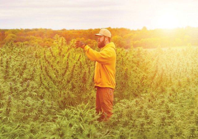 bearded man in field of hemp