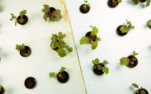 Lettuce seedlings at Urban Organics