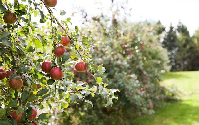 Apples1.jpg