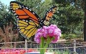 monarch-on-milkweed-by-sean-kenney-175.jpg