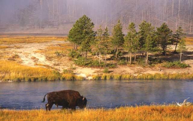 0512-bison_640s.jpg
