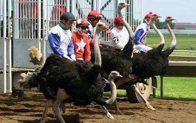 0612-Ostriches_400.jpg
